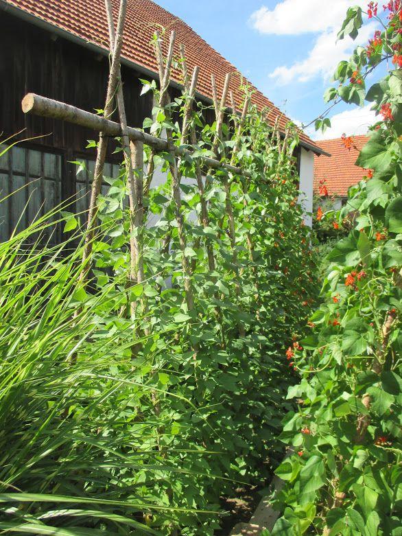 Bohnen Gestell Im Gemuse Garten Bohnenrankhilfe In 2020 Bohnen Bohne Garten