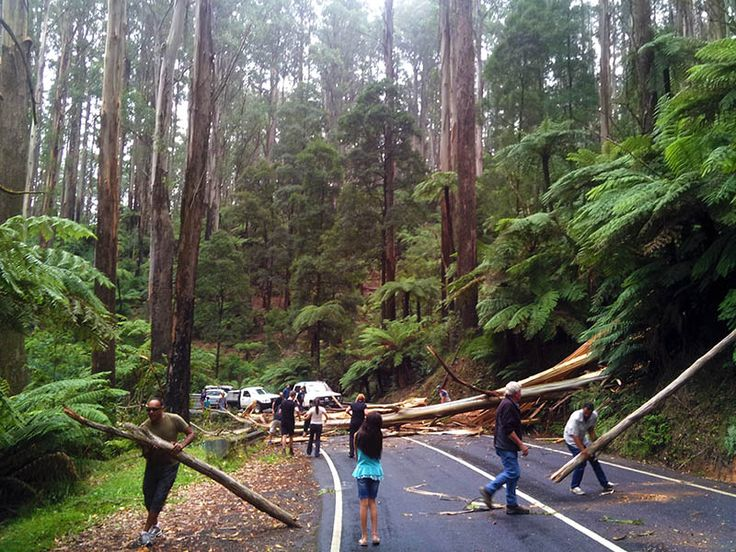 Tree blocking 'The Black Spur' with Lily M