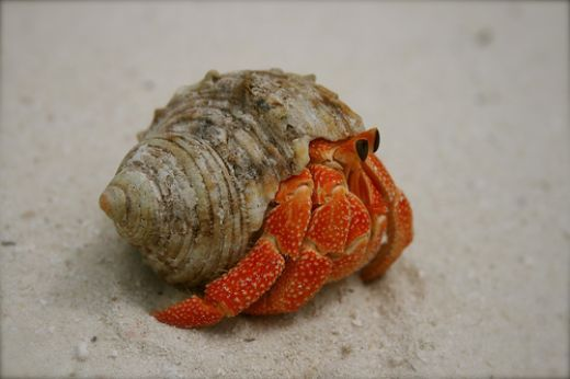 Strawberry Hermit Crab. This is my dream hermit crab. I will one day have two of them.