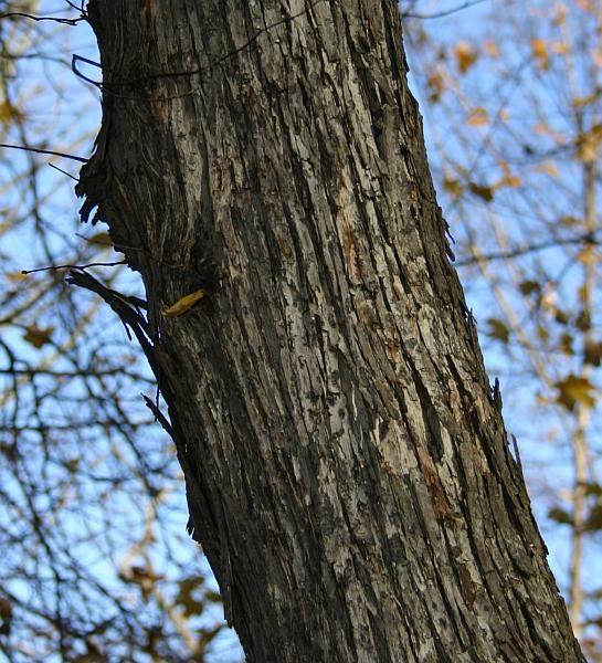 White Oak Maryland: Image Result For American Ironwood
