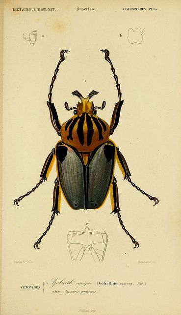Goliath beetle illustration from Dictionnaire Universel d'Histoire Naturelle…