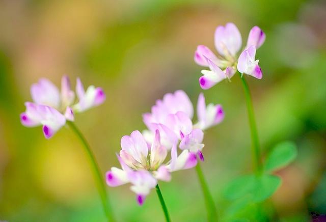 ゲンゲ 蓮華草 / Chinese Milk Vetch:紫雲英 by love_child_kyoto, via Flickr
