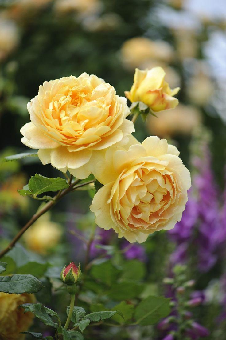 Rosa 'Golden Celebration' | Zon III. Den största blommande gula rosen i serien. Blommorna är mycket stora (10 cm), tätt fyllda, bollformade och koppargula och syns på långt håll. Doften har terosinslag i början som sedan utvecklas till en kombination av jordgubbe och sauterne vin. Bildar en tät buske med fin avrundad form och ett rikligt bladverk. Under regniga perioder kan grenarna böjas ned av de tunga blommorna. Remonterande. Frisk och härdig. 1.2 x 1.2 m. Austin, 1992.