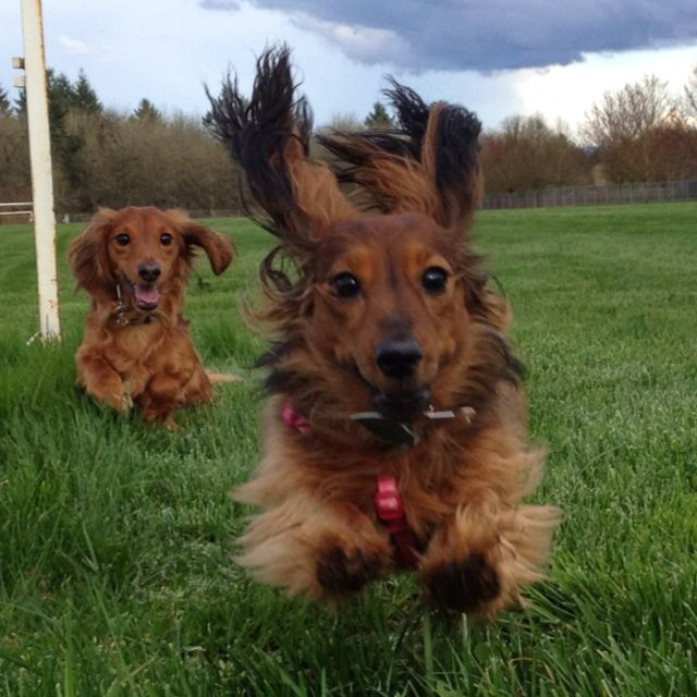 Too cute.!!: Kiss, Flying Furbal, Adorable Doxi, Long Hair, Pet Memories, Hair Doxi, Wiener Dogs, Photo, Fun Running