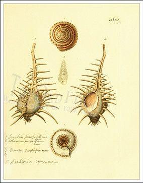Seashell prints #nature #shells #scientific #illustration