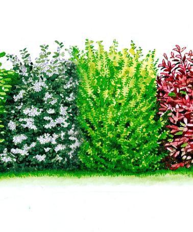 Siepe sempreverde - Cespuglio Le 5 bellissime varietà che compongono questa Siepe Sempreverde creano una vegetazione fitta e compatta, prati...
