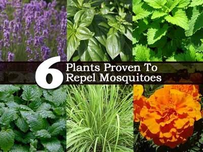 6 Plants Proven To Repel Mosquitoes - Plant Care Today