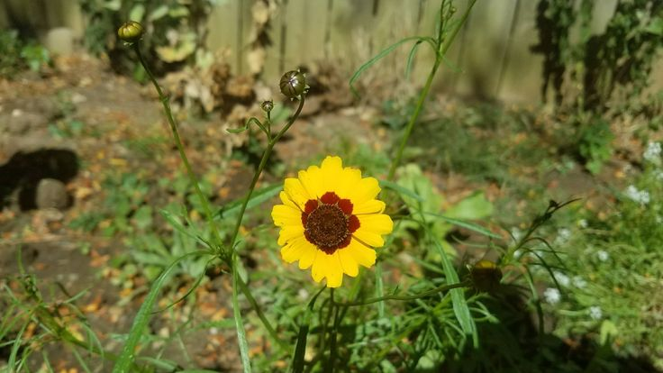 Zone 5B SW Ohio Late blooming Tick Seed grown from seed # ...