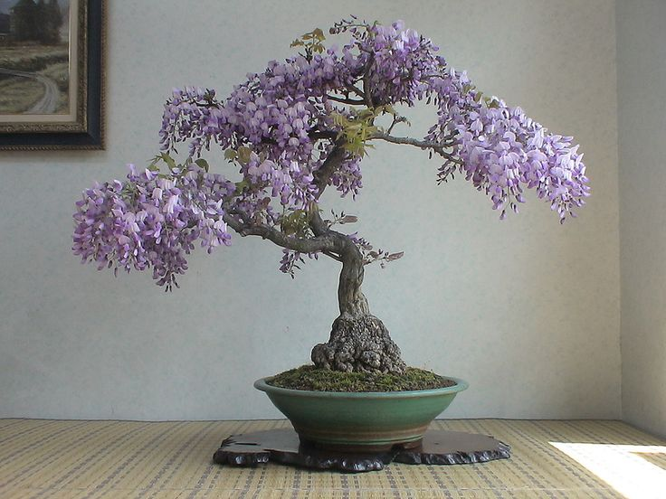 Wisteria bonsai, I bet this is expensive but I would like to have this.