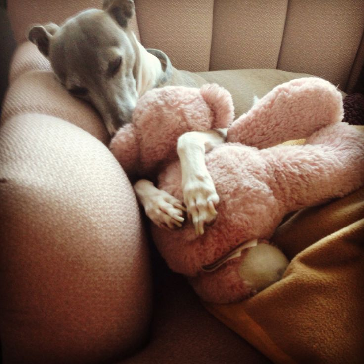 Adorable Italian Greyhound Weasley cuddled up with a pal.
