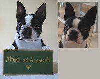 Boston Terrier e non solo Boston! Artista che riproduce, anche da fotografia, i nostri amici pelosetti e piumati, su targhe, tavole, oggetti d'arredamento. (ma non solo questo)