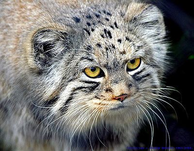 Endangered Small Cats - The Pet Wiki