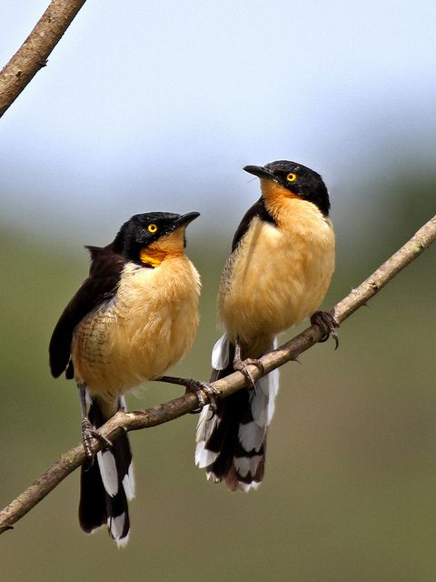 he Black-capped Donacobius (Donacobius atricapilla) is a conspicuous, vocal South American bird. It is found in tropical swamps and wetlands in Argentina, Bolivia, Brazil, Colombia, Ecuador, French Guiana, Guyana, Paraguay, Peru, Suriname, and Venezuela; also Panama of Central America