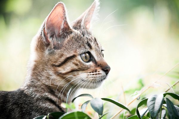 Curious cat playing in grass by Shutterstock