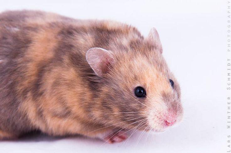 Lavender Tortoiseshell sh hamster (aabbddToto L_)