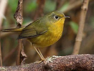 Golden Bush Robin (Tarsiger chrysaeus)