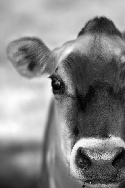 Jersey.    I <3 cows.  They have the sweetest, kindest, most trusting eyes..