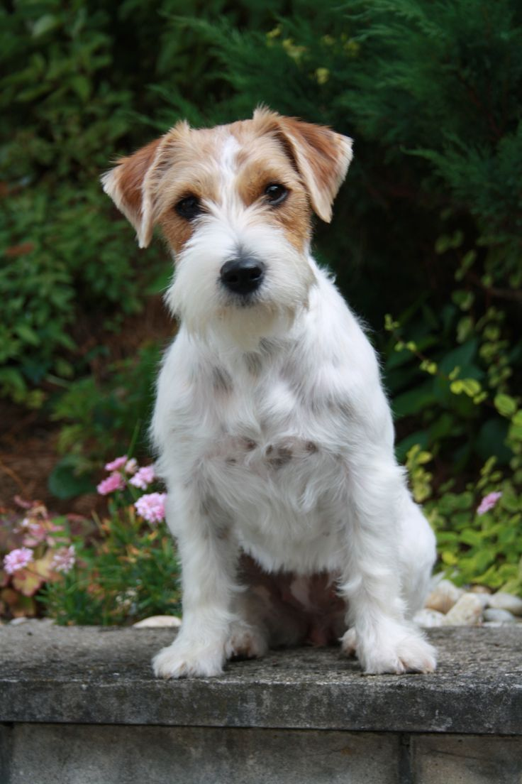 pictures+of+jack+russell+terriers | File:Rough coat Jack Russell terrier.JPG - Wikimedia Commons