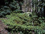 Juniperus communis (Common juniper) | NPIN