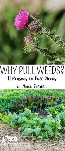 Why Pull Weeds? 11 Reasons to Weed Your Garden