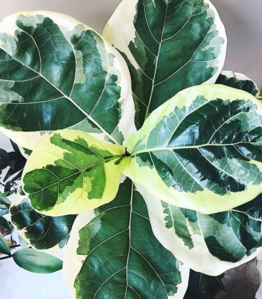 fellow fiddle leaf fig lovers i came across something online that i m more excited about than. Black Bedroom Furniture Sets. Home Design Ideas