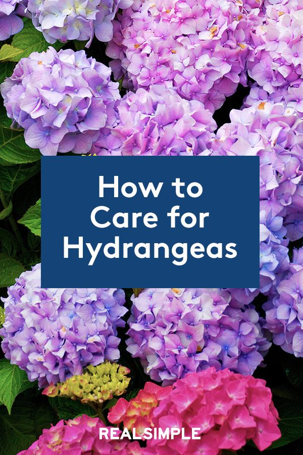 How To Care For Hydrangeas To Get The Most Beautiful