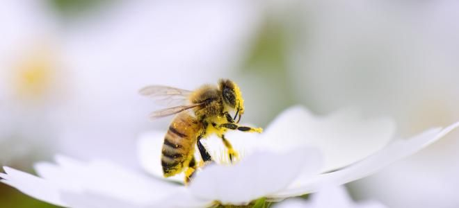 Piqûre de frelon : que faire ?  On dit souvent que la piqûre de frelon équivaut à 30 piqûres de guêpes et 125 piqûres d'abeille. La douleur est intense et le venin peut être très dangereux si on fait une allergie. Comment la soulager rapidement ? Quelles sont les solutions pour repousser les frelons ? Médisite vous répond.