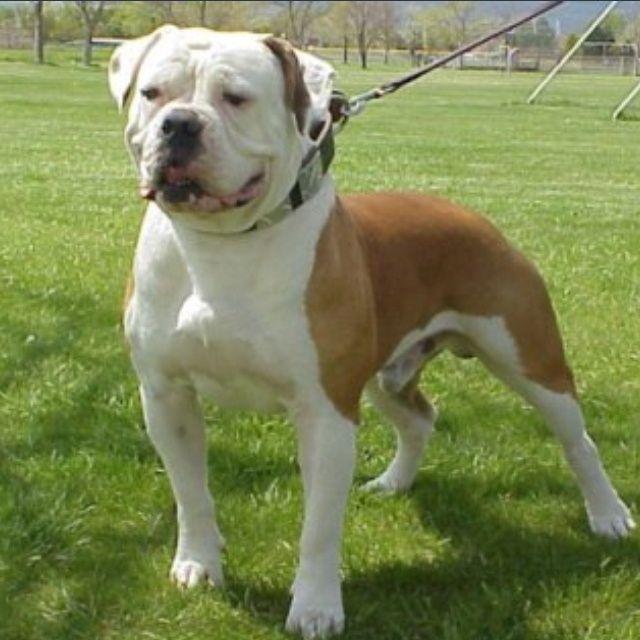 Johnson American Bulldogs | American bulldog Johnson type