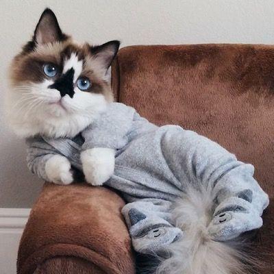 Er ist eine Instagram-berühmte Munchkin-Katze mit wunderschönen blauen Augen und …  – Cute animals