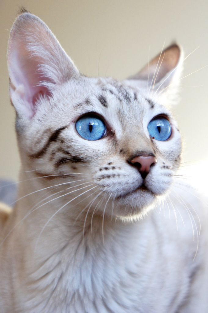 Beautiful blue eyes on this cat.