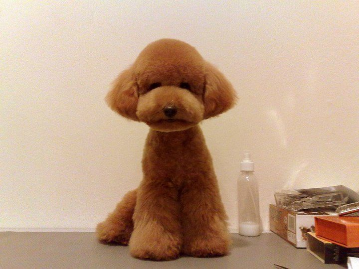 Red Teacup Poodle Puppy Cut on a red teacup poodle