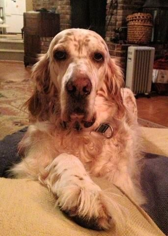 Gordon Setter Rescue Ohio 1000+ ideas about Engl...
