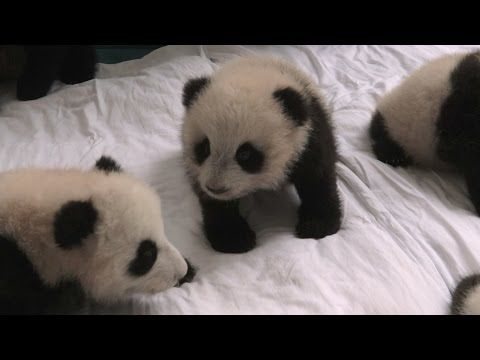 14 Baby Pandas. It's Like an Auditions For the Next Kung Fu Panda Movie! GNL:Christian Videos