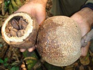 nuci bio organice de Brazilia