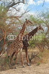 Girafe - Réserve de Bandia