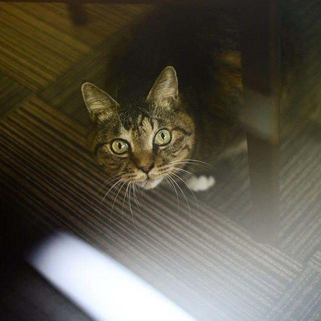 2017.10.13 . ガラス越しのくぅ♡ . 全然違う話ですが、 朝からWOWOWで「13日の金曜日」を放送してたんです。 . あら、懐かしい〜 と思いながらチラ見👀その後お仕事。 . . で、 そうか。。今日は13日の金曜日なんだ〜 と、 さっき気付くという😅遅っ . #ネコダスケステーション #愛猫 #ねこ #猫写真 #ねこ部 #看板猫 #にゃんこ #にゃんだふるらいふ #わたしの仕事は元気でいることです #みんねこ #大事な子 #かけがえのない家族 #長生きしてね #キジトラ #白足袋 #可愛いすぎる #猫のいる暮らし #猫好きな人と繋がりたい #ig_japan #ニコン #ニコンdf #NikonDf #にこん日和 #一眼レフ #デジタル一眼レフ #単焦点 #写真好きな人と繋がりたい #ファインダー越しの私の世界 .