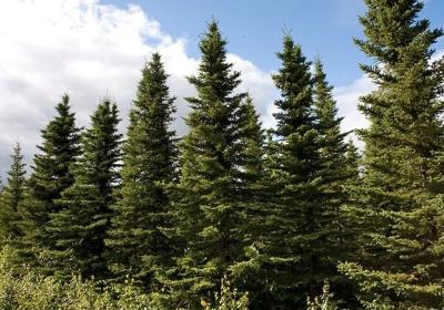 Picea mariana - Black spruce