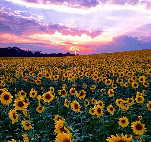 Places You Didn T Know Existed In Chicago: 25+ Best Ideas About Sunflower Fields On Pinterest