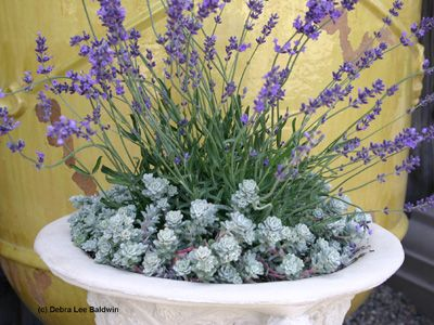This mix of succulent sedum and fragrant lavendar makes an interesting dog, friendly mixed planter (unless you think lavender smells like your grandma, like I do!)