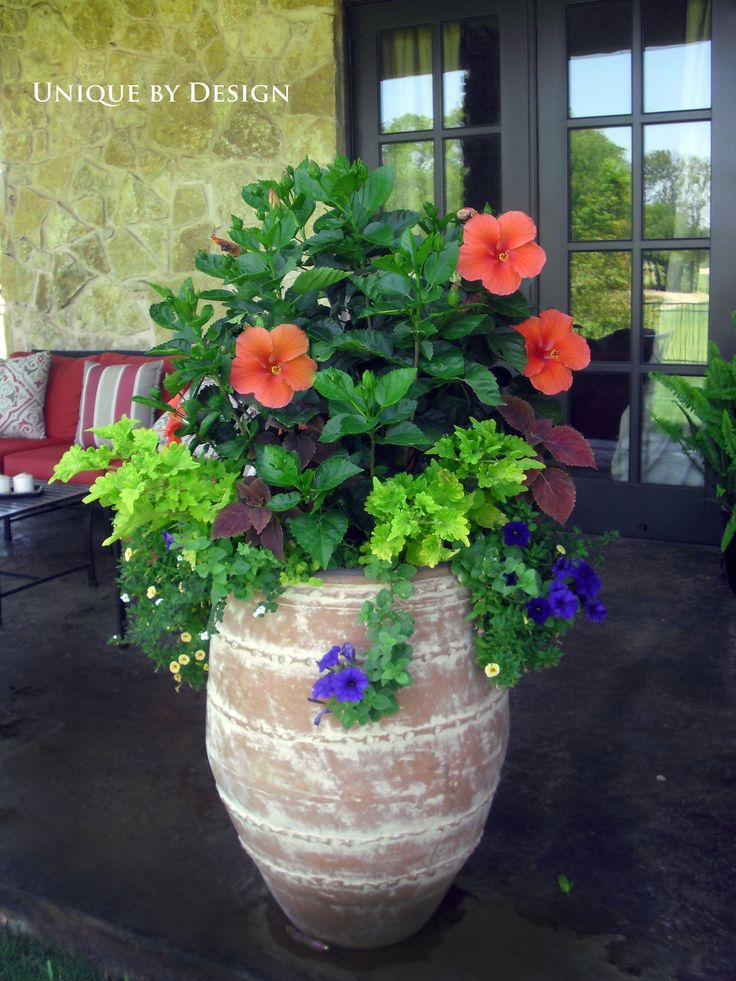 I'd love to buy a pot like this. Great combo for a large container - bright orange-red Hibiscus are set off by blue petunias. Lovely!