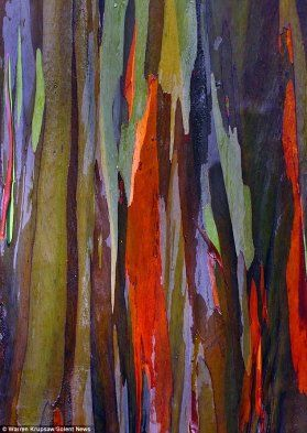 Quem disse que os Monet não crescem nas árvores? Estes bonitos eucaliptos tornam-se naturalmente coloridos quando perdem a casa exterior.