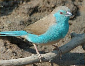 Cordon Bleu Finch