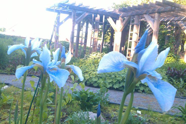 Siberian Iris 'Edens Paradise Blue'