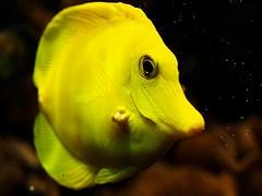 yellow tang: Blinds Man, Brini Deep, Saltwater Fish, Something Fishi, Tropical Fish, Yellow Tang, Yellow Tropical, Finding Nemo
