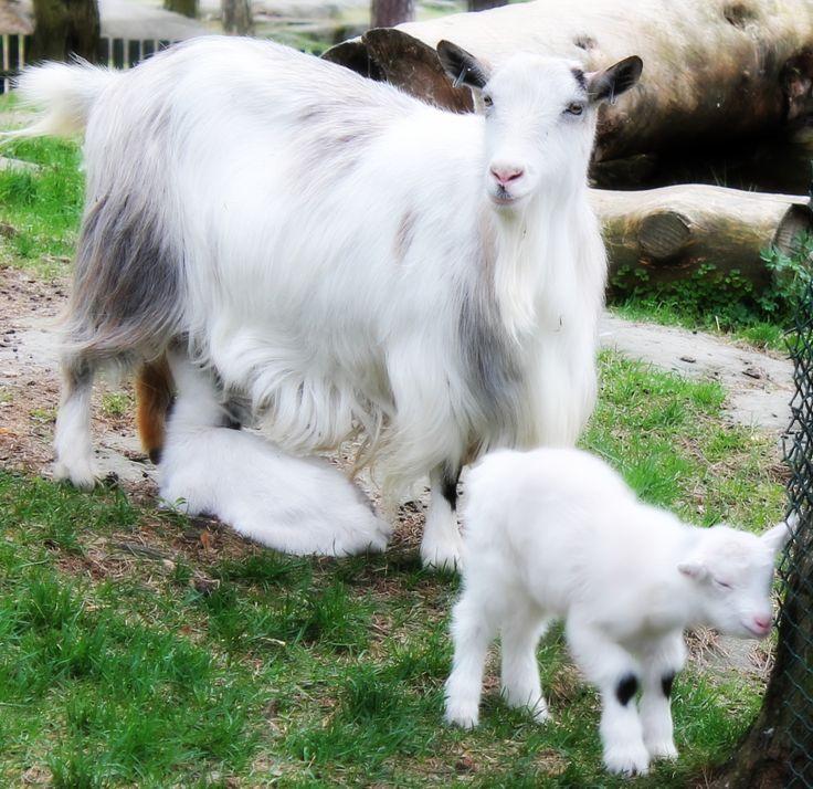 Goats - Getter - Killingar