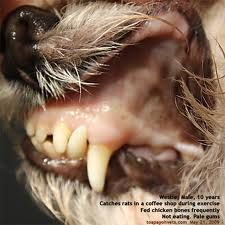 dog with pale gums from biliary tick bite fever babesiosis