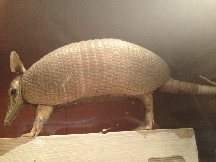 Taxidermy of Armadillo in the House of Carl Linneaus in Uppsala