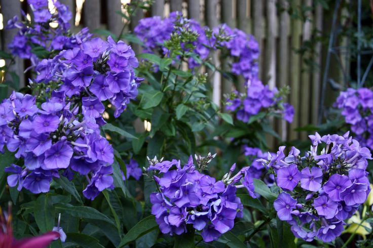 Phlox paniculata Blue Paradise - Heres a butterfly magnet for earlier in the season, a great June/July bloomer