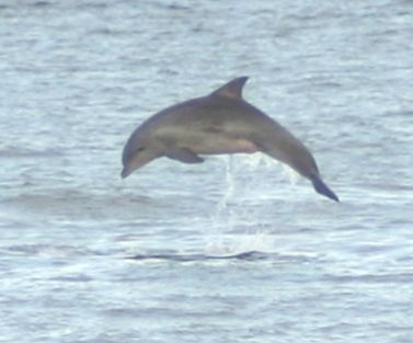 Rehoboth Beach is known for it's dolphins in the Atlantic Ocean. But capturing a dolphin in the air like this? Priceless!  Photo Credit: Alan Henney
