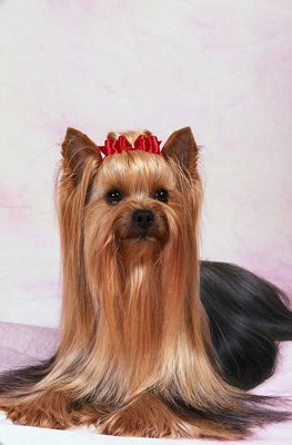 Yorkshire Terrier Hairstyles